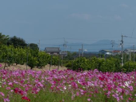 浅海原のコスモス 3