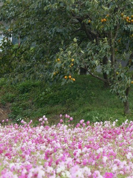 見奈良のコスモス 4