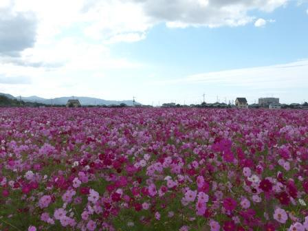 見奈良のコスモス 1
