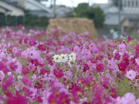見奈良のコスモス 5