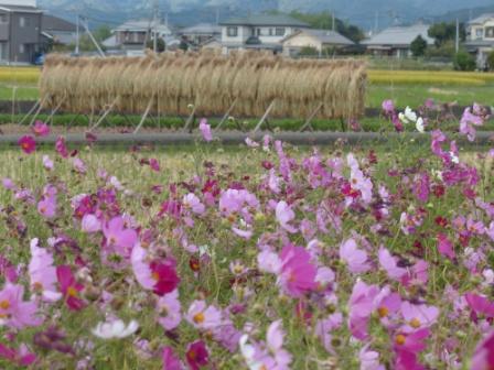 見奈良のコスモス 6
