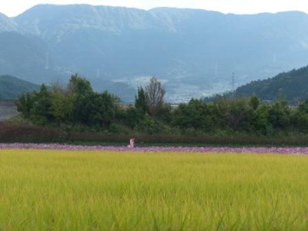 見奈良のコスモス 8