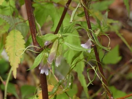 四国カルスト ホソバツルリンドウ 2
