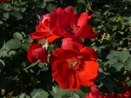 かわら館のバラ サラバンド