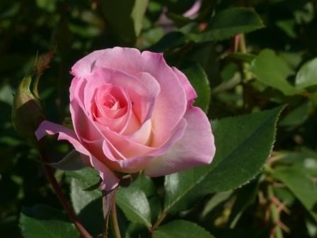 かわら館のバラ マチルダ