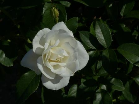 かわら館のバラ アイスバーグ