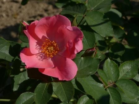 かわら館のバラ ピンクサラバンド