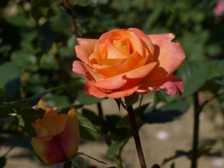 かわら館のバラ パレオ