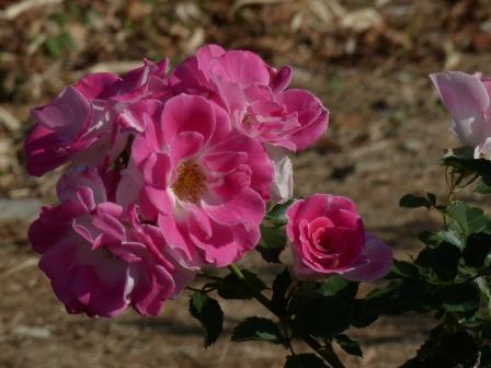 かわら館のバラ レーゼンス