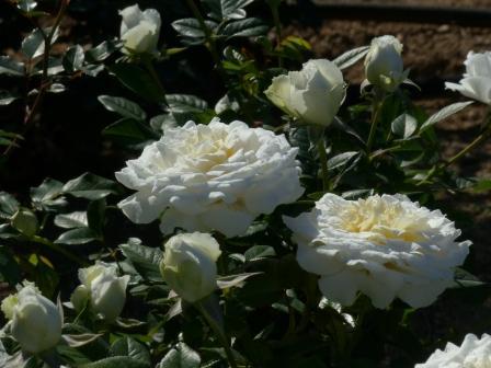 かわら館のバラ ホワイトジェム