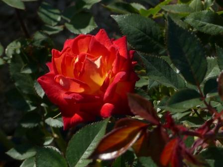 かわら館のバラ トロピカルサンセット
