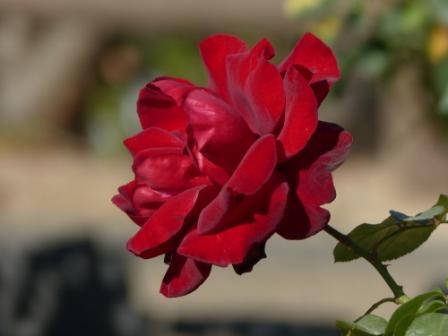 かわら館のバラ プレジデント サンゴール