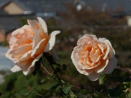 かわら館のバラ ジャストジョイ