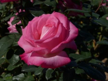 かわら館のバラ ノービ