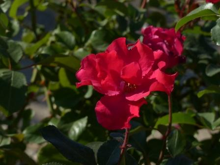 かわら館のバラ パーマネント ウェーブ