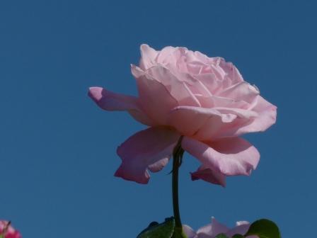 かわら館のバラ キャリオカ