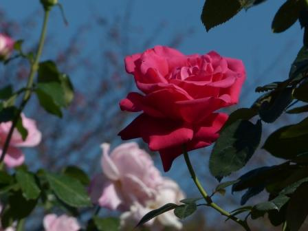 かわら館のバラ レッド広島