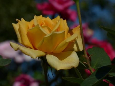 かわら館のバラ 金閣