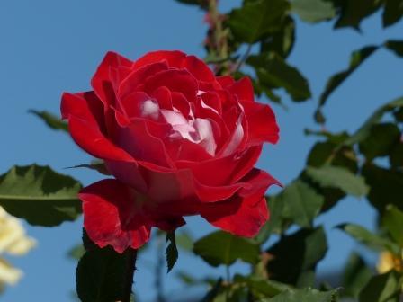 かわら館のバラ トライアンフ 1