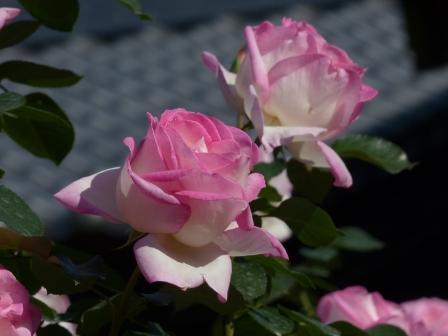 かわら館のバラ プリンセス ドゥ モナコ