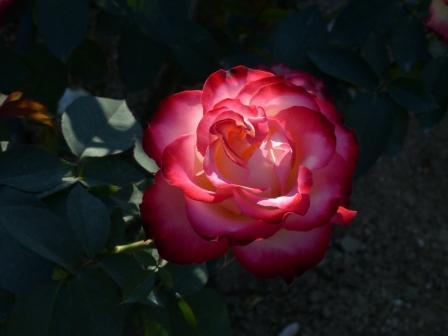 かわら館のバラ スパニッシュダンサー