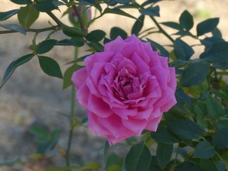 かわら館のバラ 宇宙バラ 1