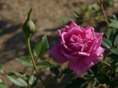 かわら館のバラ 宇宙バラ 2