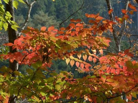 面河渓の紅葉 3