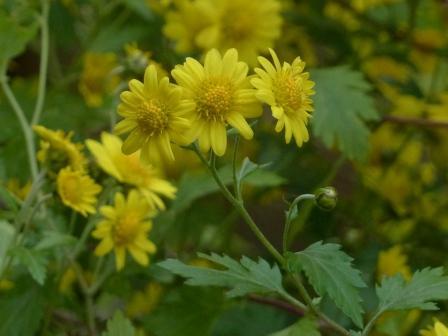 面河渓 キク科の花