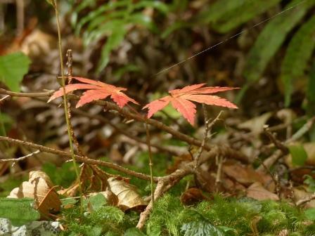 面河渓の紅葉 15