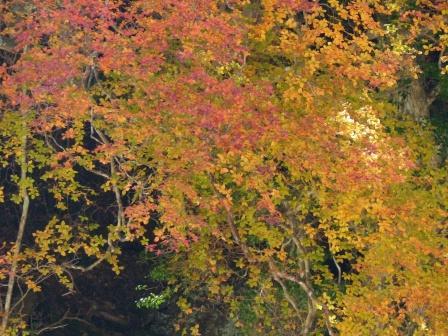 面河渓の紅葉 16