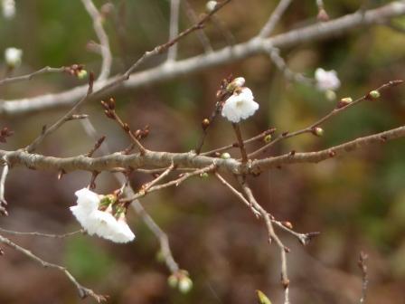 南光院付近 十月桜