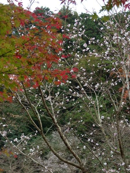 マイントピア別子 紅葉 & 冬桜 1