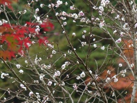 マイントピア別子 紅葉 & 冬桜 2