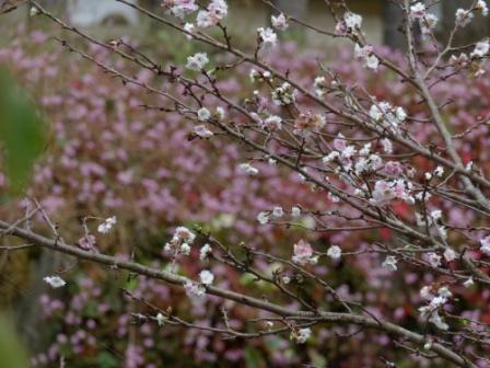 マイントピア別子 冬桜 & ヒメツルソバ