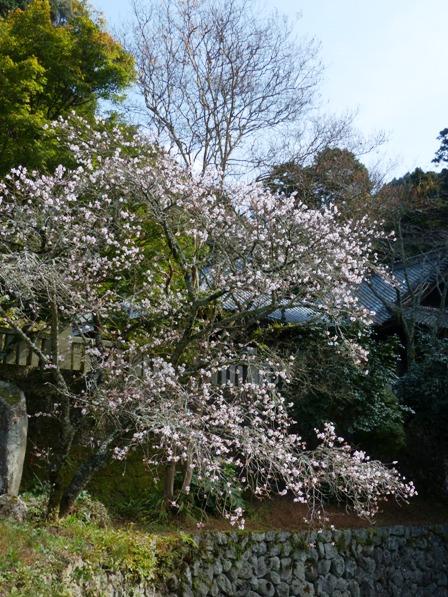 惣河内神社 百日桜 1