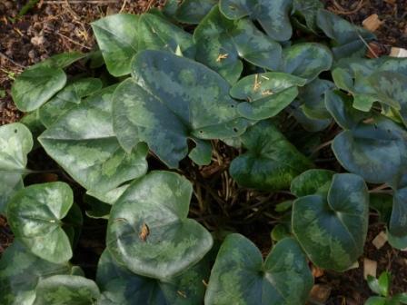 牧野公園 サカワサイシンの葉