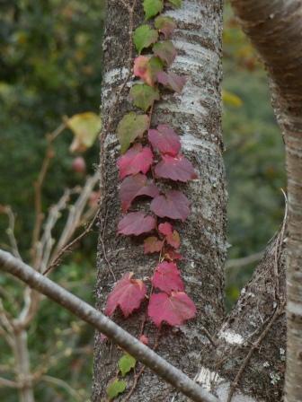 牧野公園 ツタの紅葉