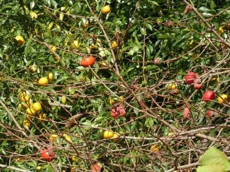 柿 と 柑橘類 1