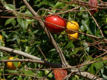 柿 と 柑橘類 2
