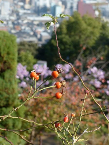 松山総合公園 バラ科の花の実