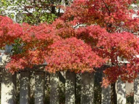 護国神社前 紅葉 1
