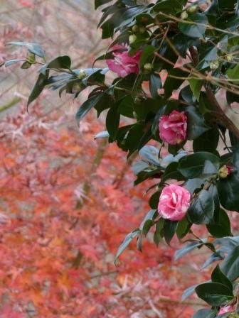 宅並山 サザンカ と紅葉