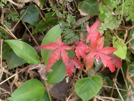 宅並山 小さな紅葉
