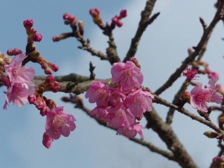 のまうまハイランド 河津桜 1