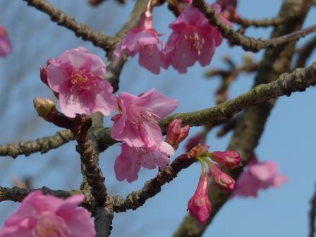 のまうまハイランド 河津桜 2