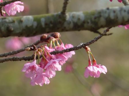 のまうまハイランド 河津桜 3