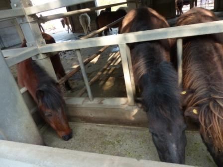 のまうまハイランド 野間馬 3
