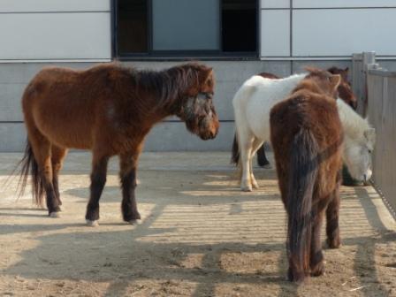 のまうまハイランド 野間馬 1