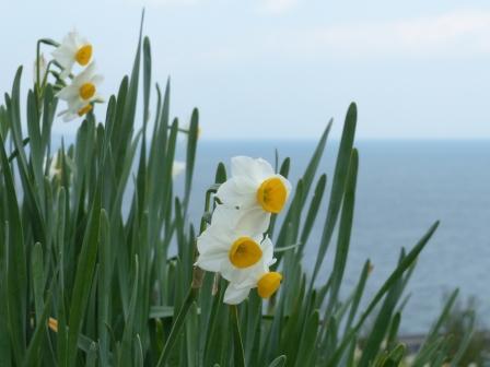 下灘・水仙畑 3